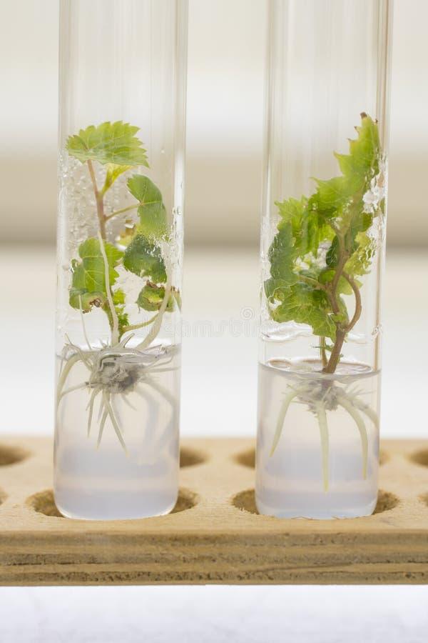 Micropropagation av druvaväxter fotografering för bildbyråer