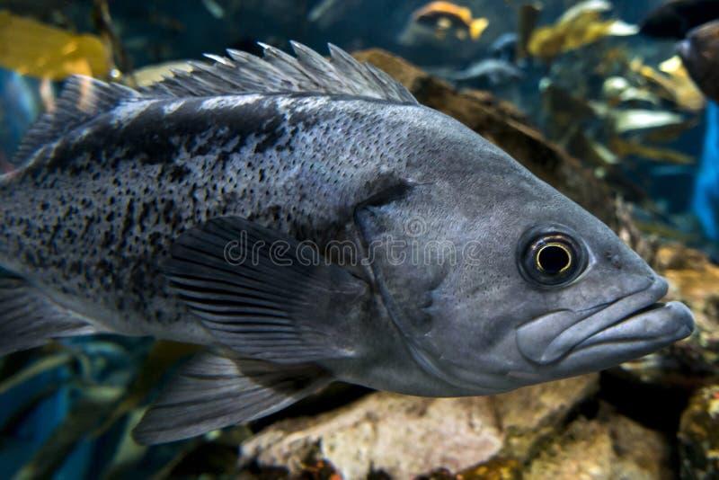 Micropterus.salmoides för Largemouth bas, övre detalj för slut fotografering för bildbyråer