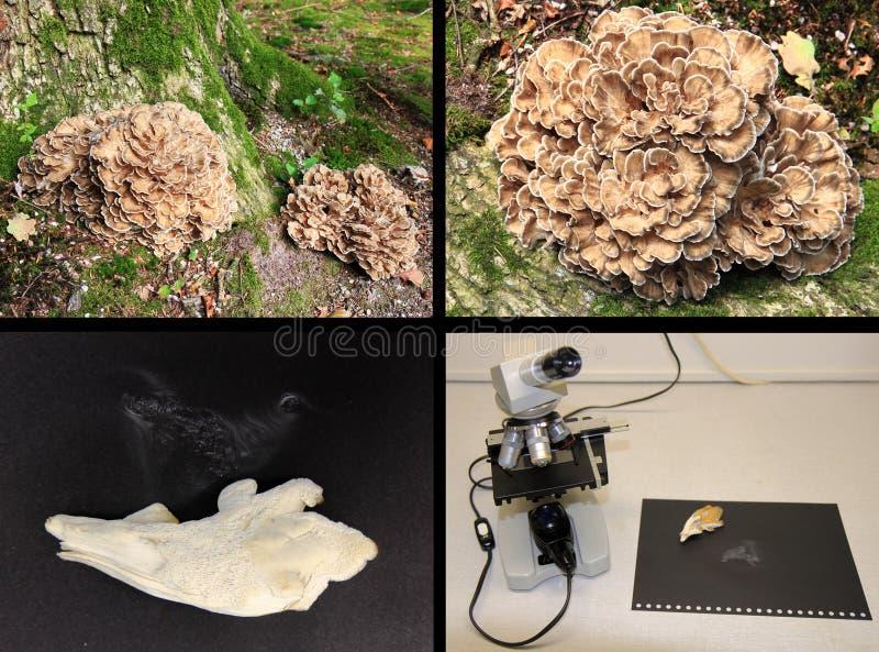 Microscoopstudie van Grifola-frondosa stock foto's