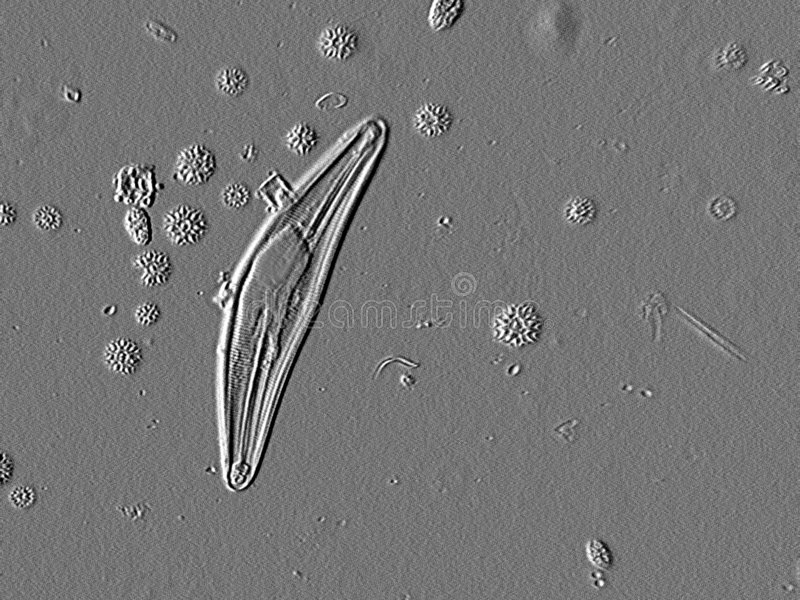 Microscopic Diatom. A microscopic Diatom by differential contrast lighting. Diatoms are studied by every biology student. This image is suitable for school stock photo