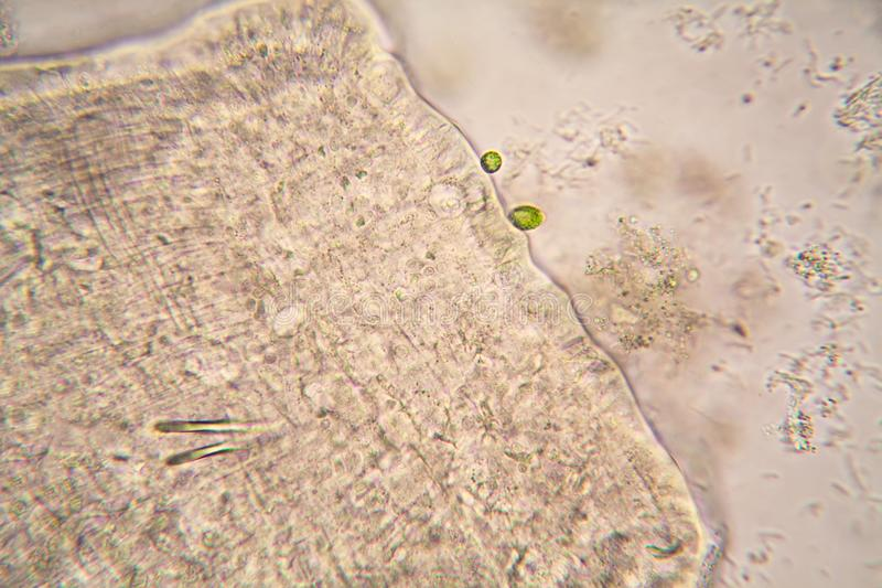 Microscopic organisms from the pond water. Nematode stock photos