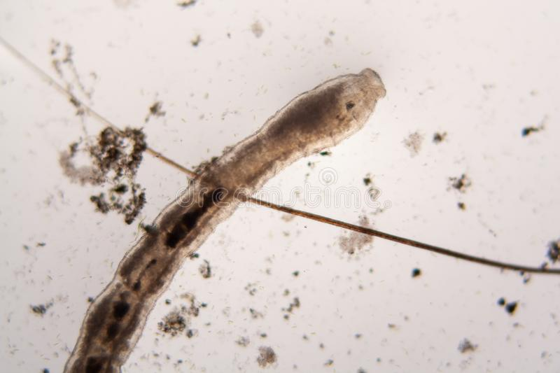 Microscopic organisms from the pond water. Nematode royalty free stock image