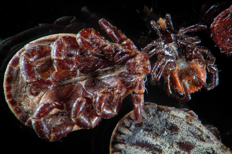 Microscopic parasites ticks, mites, Dermacentor reticulatus or Ornate Cow Tick and Ixodes scapularis or deer tick or blacklegged. Ticks, mites, Ixodes are small stock photography