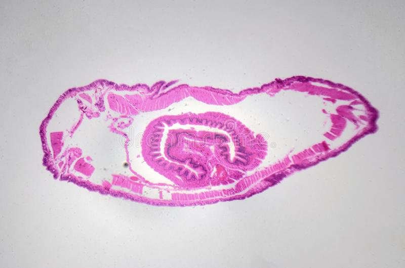 Microscopic photography. Earthworm, transversal section. royalty free stock images