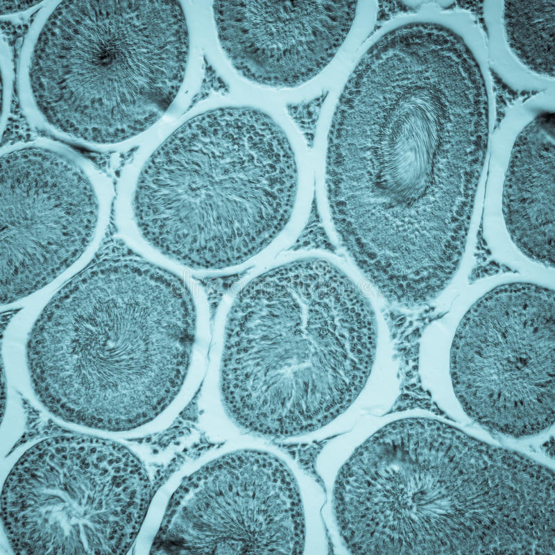 Microscopic section of Testis T. S stock photography