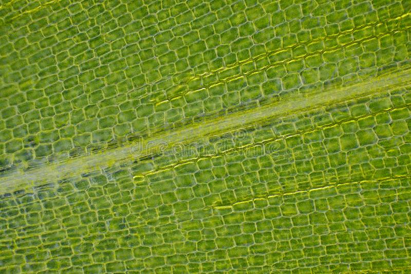 Microscopic view of Canadian waterweed Elodea canadensis leaf royalty free stock images