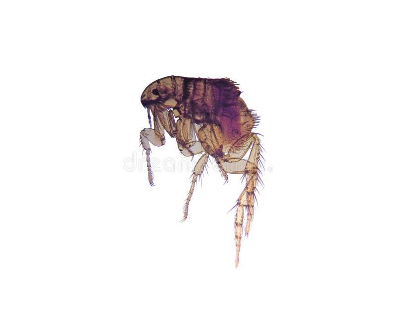 Microscopio-Pulce (Ctenocephalides) fotografia stock libera da diritti