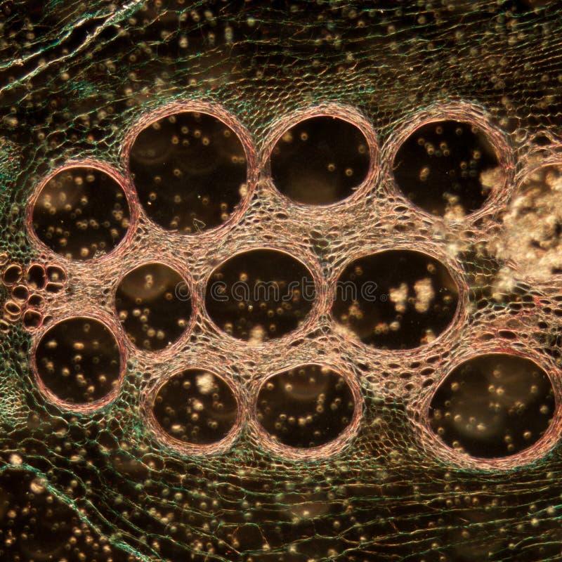 Microscopy micrograph stem of pumpkin royalty free stock photos