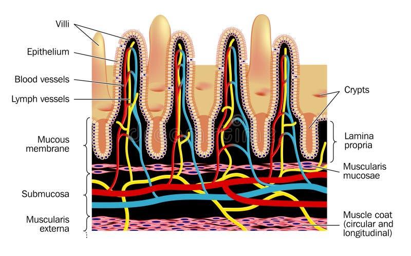 Microvellosidades ilustración del vector