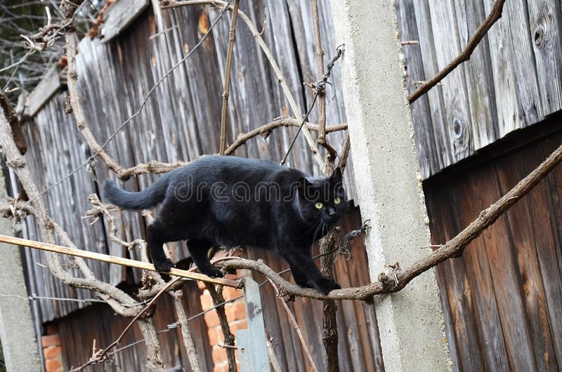 Micske cat spring. My black cat. Name is Micske. The hunting begins stock photos