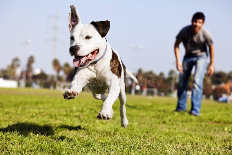 Mid-Air που τρέχει το σκυλί Pitbull στοκ εικόνα