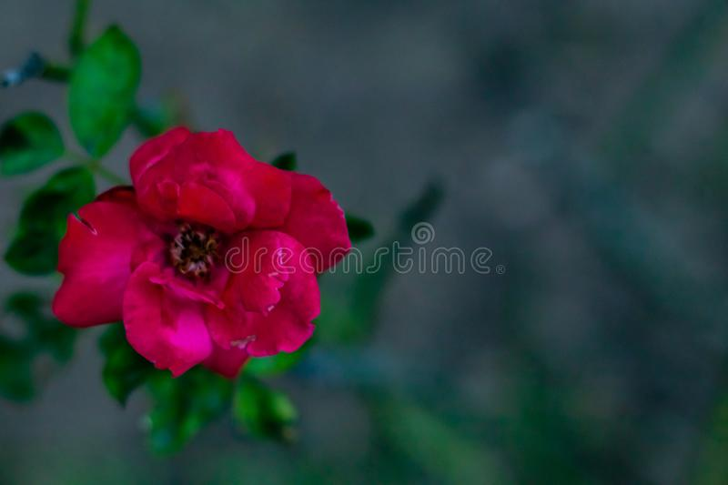 Mid close up red rose in soft focus on dark background with copy space. lonely concept. Mid close up red rose in soft focus on dark background with copy space royalty free stock photos
