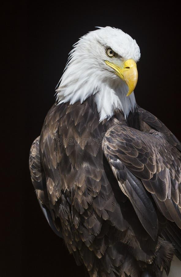 Mid shot of bald eagle stock image
