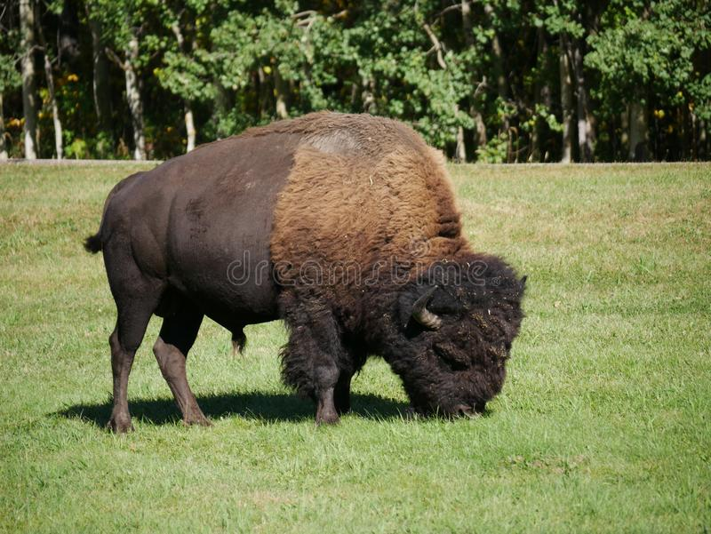 A mid-size Bison free-roaming in the Park. One of many bison free roaming in Elk Island National Park in Alberta, Canada stock photography