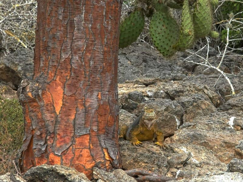 Middag van landleguaan en een cactusboom wordt geschoten in de Galapagos die stock afbeelding