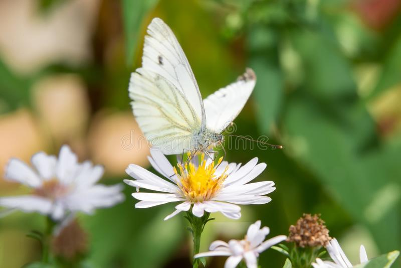 Middagpauze bij de vlinder op een bloem stock foto
