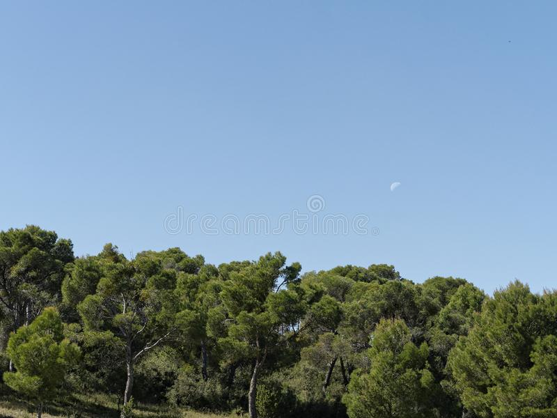 The midday moon over the pines. stock photography