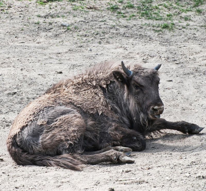 Midday Rest Of European Bison Stock Photo