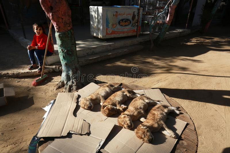 MIDDEL EAST. The dead bodies of four newly born lion cubs prior to their burial at a zoo, in Rafah, in the southern Gaza Strip on January 18, 2019. According to stock photo