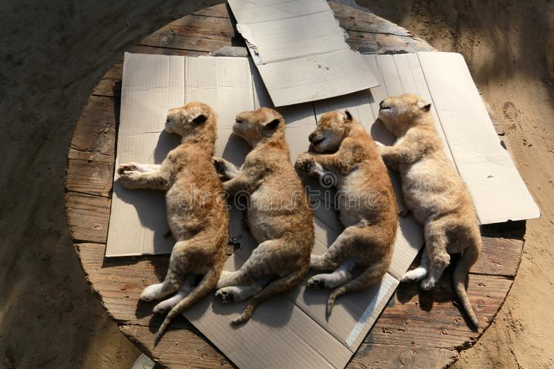MIDDEL EAST. The dead bodies of four newly born lion cubs prior to their burial at a zoo, in Rafah, in the southern Gaza Strip on January 18, 2019. According to royalty free stock photo