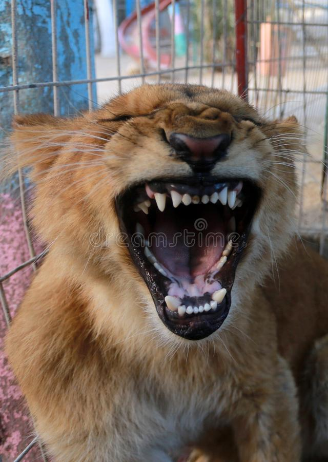 MIDDEL EAST. Lion inside their cage at the zoo in Rafah refugee camp, southern Gaza Strip, on January 18, 2019. Fathi Jomaa, a zoo owner said that four lion cubs royalty free stock photos