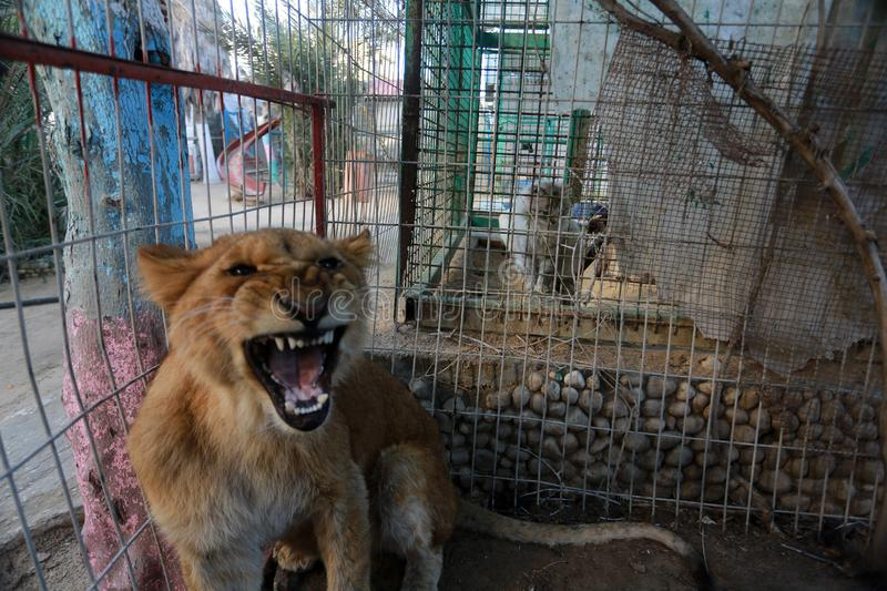 MIDDEL EAST. Lion inside their cage at the zoo in Rafah refugee camp, southern Gaza Strip, on January 18, 2019. Fathi Jomaa, a zoo owner said that four lion cubs royalty free stock images