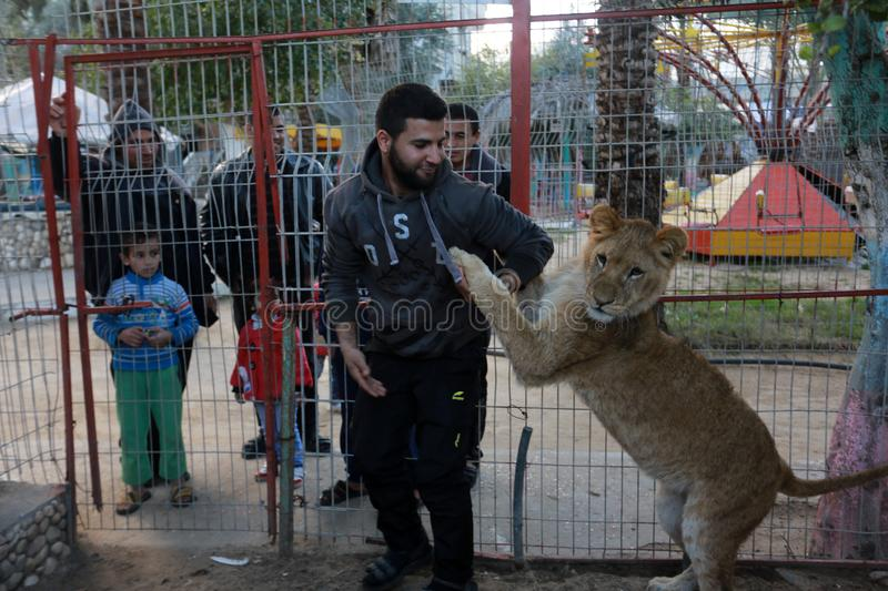 MIDDEL EAST. Palestinian visitors watch Ahmad Jomaa, a zoo worker, play with lions inside their cage at the zoo in Rafah refugee camp, southern Gaza Strip, on royalty free stock images