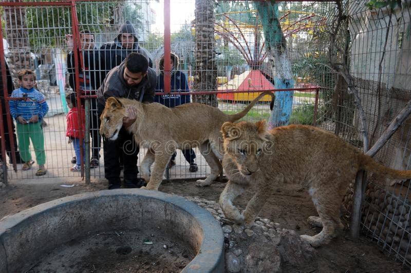 MIDDEL EAST. Palestinian visitors watch Ahmad Jomaa, a zoo worker, play with two lions inside their cage at the zoo in Rafah refugee camp, southern Gaza Strip royalty free stock photography