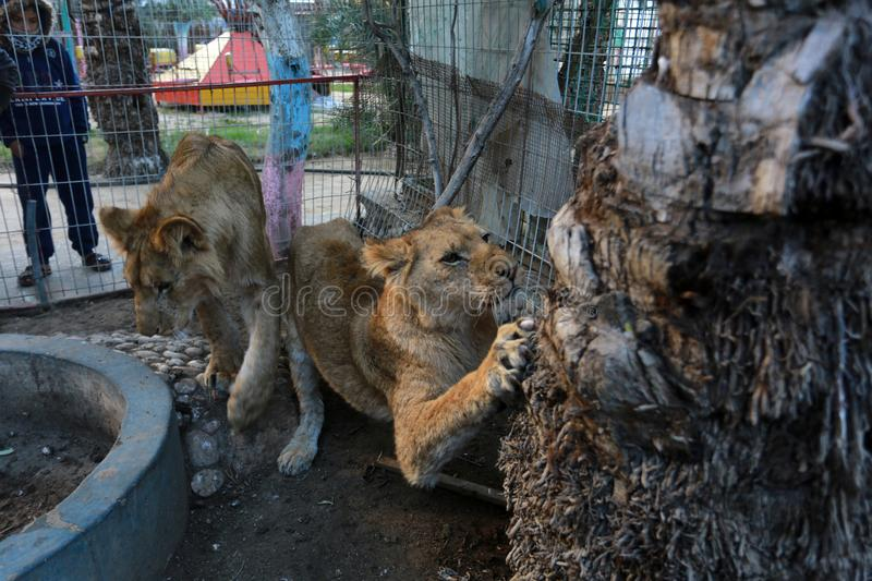 MIDDEL EAST. Palestinian visitors watch Ahmad Jomaa, a zoo worker, play with two lions inside their cage at the zoo in Rafah refugee camp, southern Gaza Strip royalty free stock image