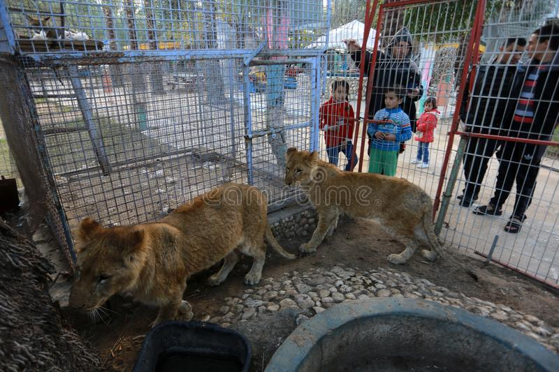 MIDDEL EAST. Palestinian visitors watch Ahmad Jomaa, a zoo worker, play with two lions inside their cage at the zoo in Rafah refugee camp, southern Gaza Strip stock photos