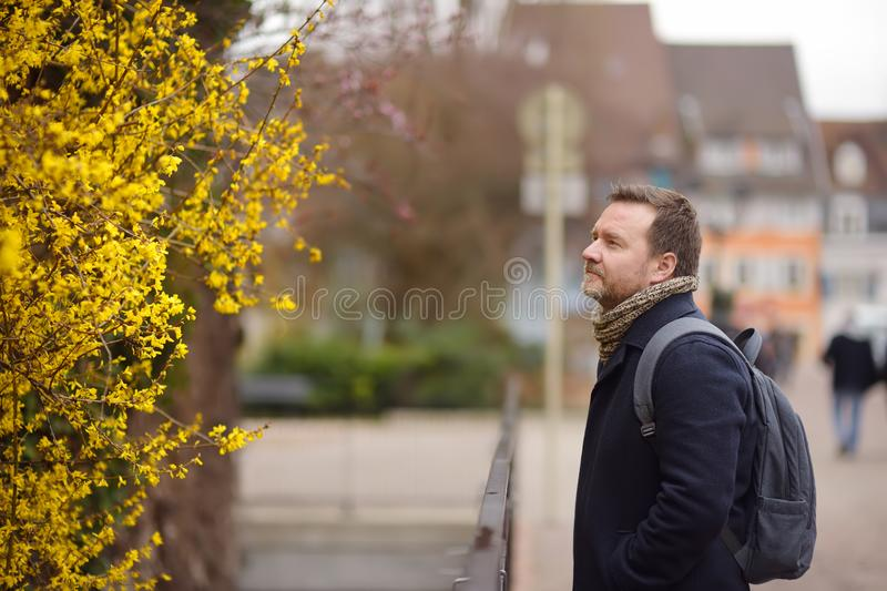 Middle age man looking at blomming forsythia bush. Tourist in small town Colmar, France. Early spring stock photography