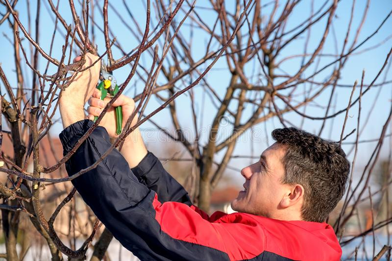 Middle aged man with shears pruning tree branches. In early spring stock photography