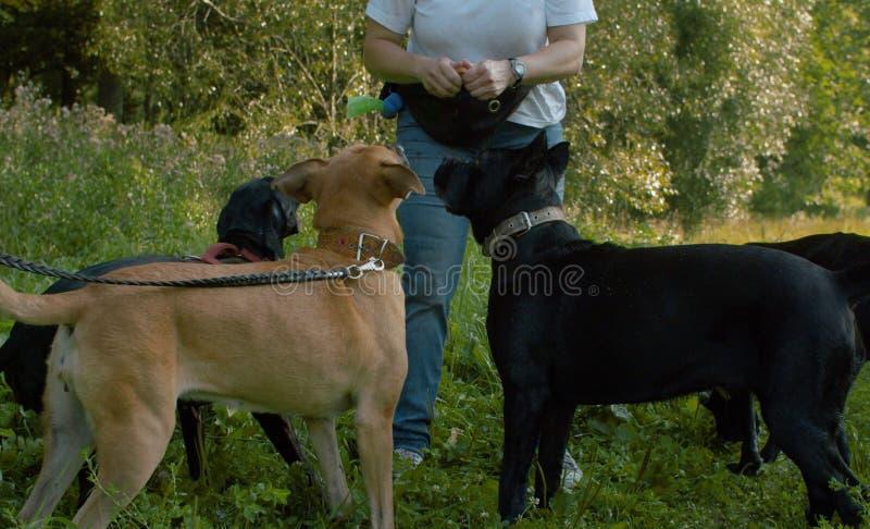 Woman feeding four dogs royalty free stock photo
