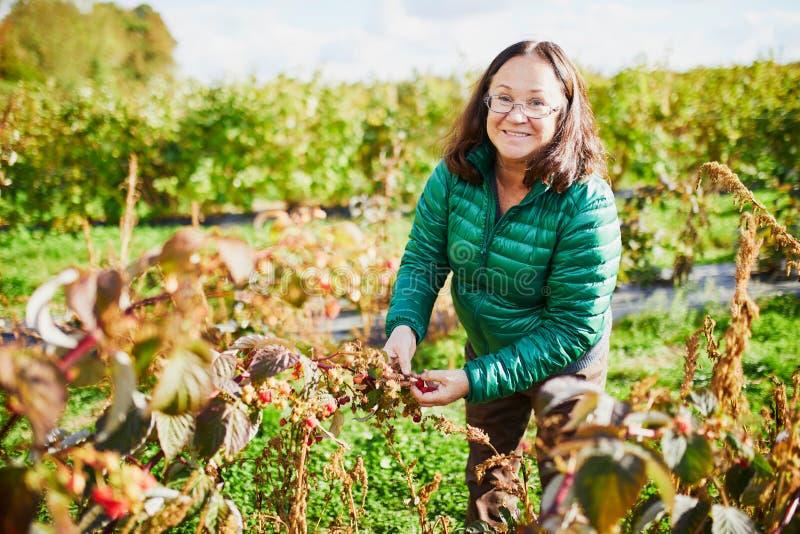 Middle aged woman gathering raspberries on farm. Happy middle aged woman gathering raspberries on farm royalty free stock photos