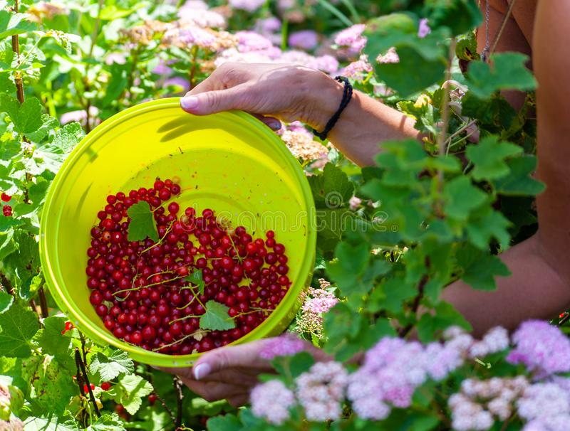 Middle aged woman`s hands holding a green bowl with red currants berries inside on green garden background royalty free stock photography