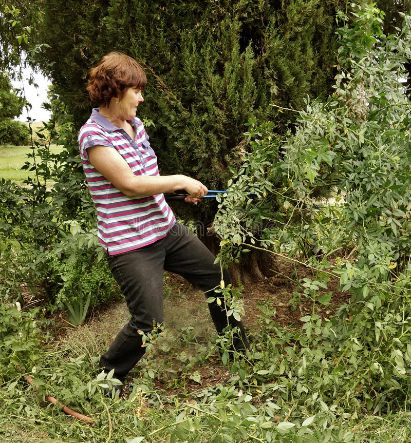 Middle-aged Woman Tackles Overgrown Prickly Rose Bush With Secateurs. royalty free stock image