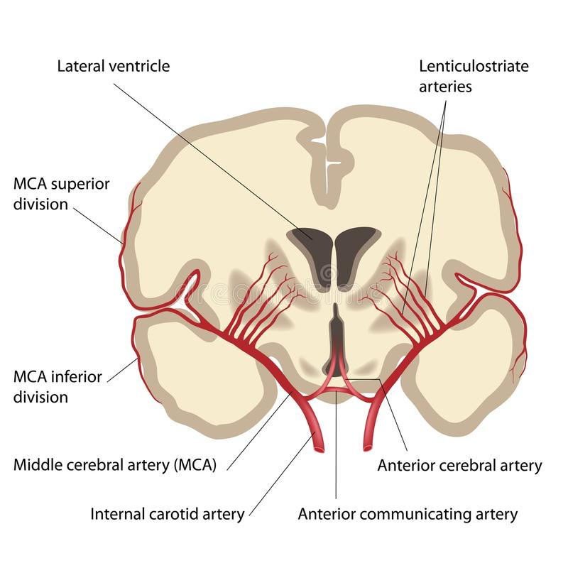 Middle cerebral artery stock illustration