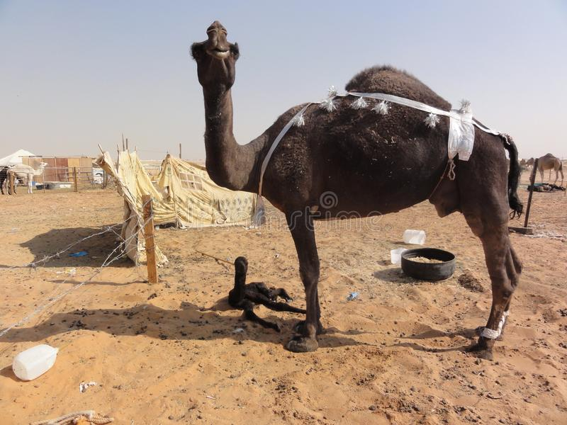 The middle eastern camels in the desert stock photography