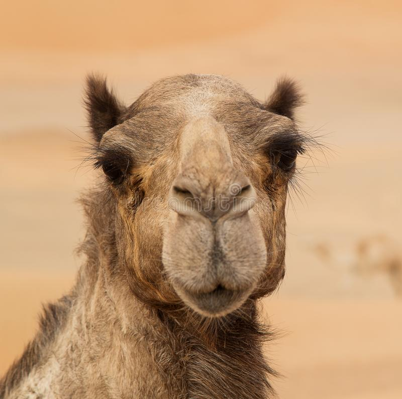 Middle eastern camels in a desert. United Arab Emirates stock photo
