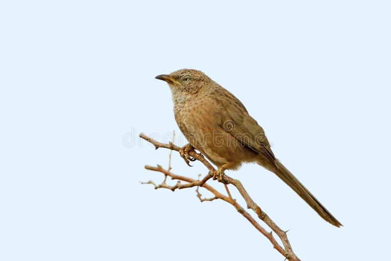 Middle size photo of an Arabian babbler Turdoides squamiceps. Isolated on light blue background stock photos