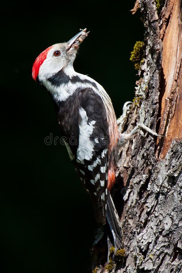 Middle spotted woodpecker stock images
