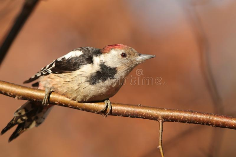 Middle Spotted Woodpecker - Dendrocopos medius in the forest. Close-up of Middle Spotted Woodpecker - Dendrocopos medius on a twig in the forest. Europe, Poland royalty free stock photography