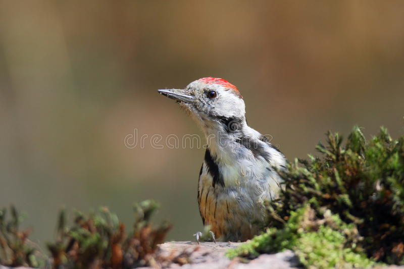 The middle spotted woodpecker (Dendrocopos medius) seating on a trunk stock images