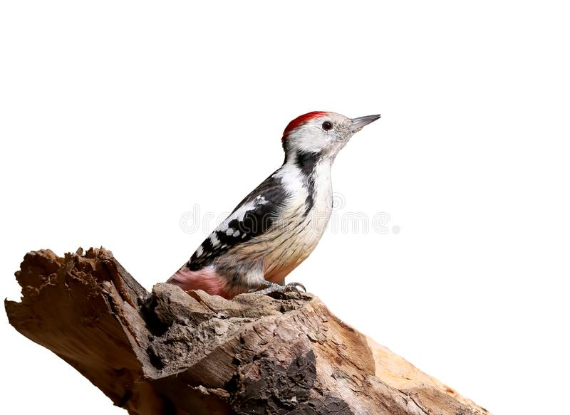 A middle spotted woodpecker is posing on a log. Isolated on a white background stock images