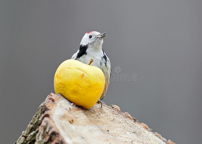 The middle spotted woodpecker sits on a log and there is a large yellow apple. Blurred gray background stock image