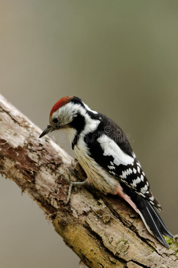 Middle spotted woodpecker sitting on the branch stock photos