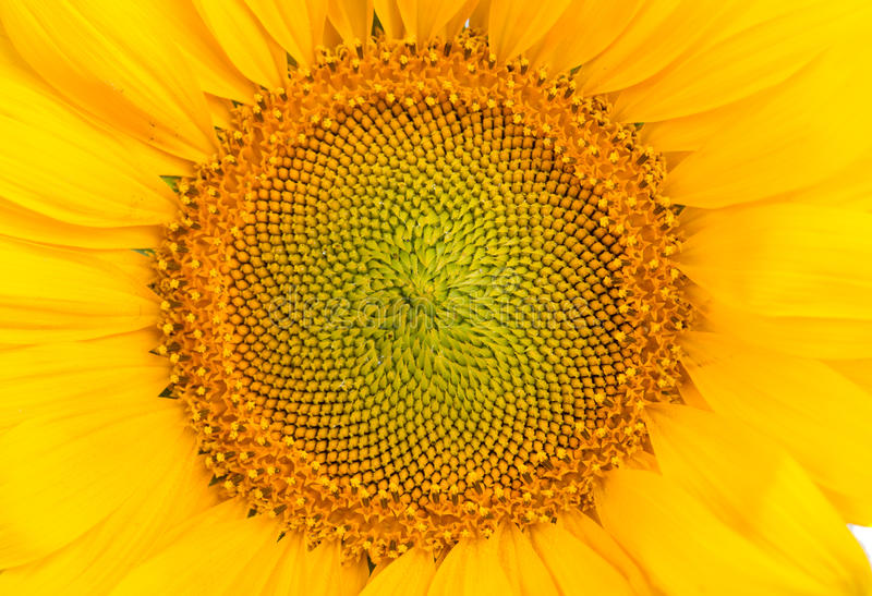 Middle of Sunflower stock images