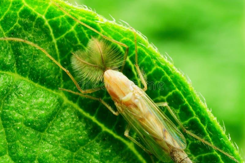 Midge комары-звонцы стоковое изображение rf