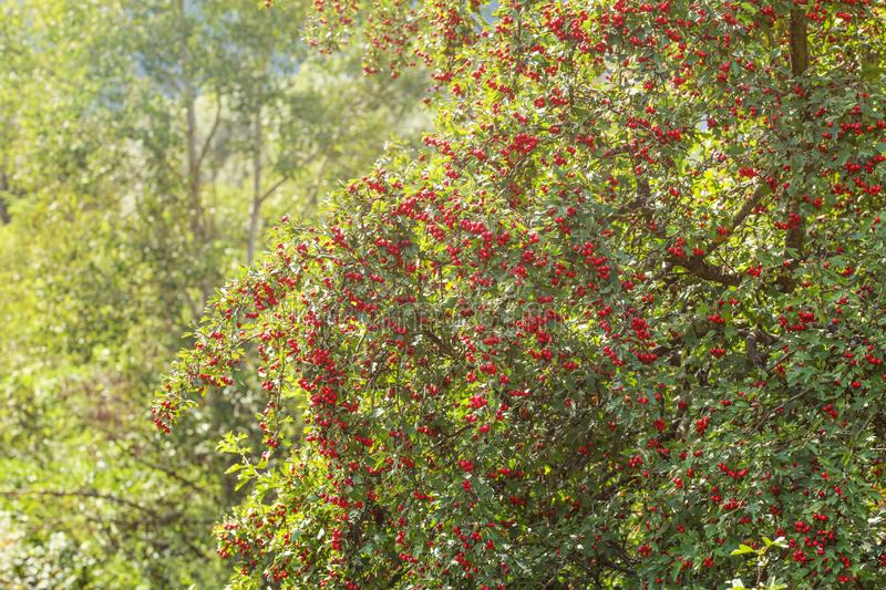 Midland hawthorn Crataegus laevigata tree with red berries, sun shining in background stock image