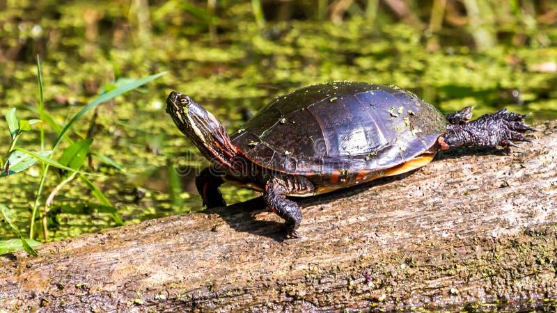 Midland Malujący żółw zdjęcia royalty free
